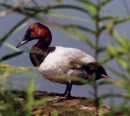 Canvasback Duck - Montezuma Wildlife Refuge