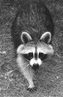 Thacher Park Raccoon